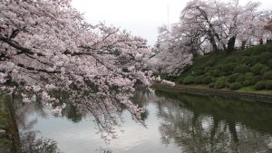 sakura japón