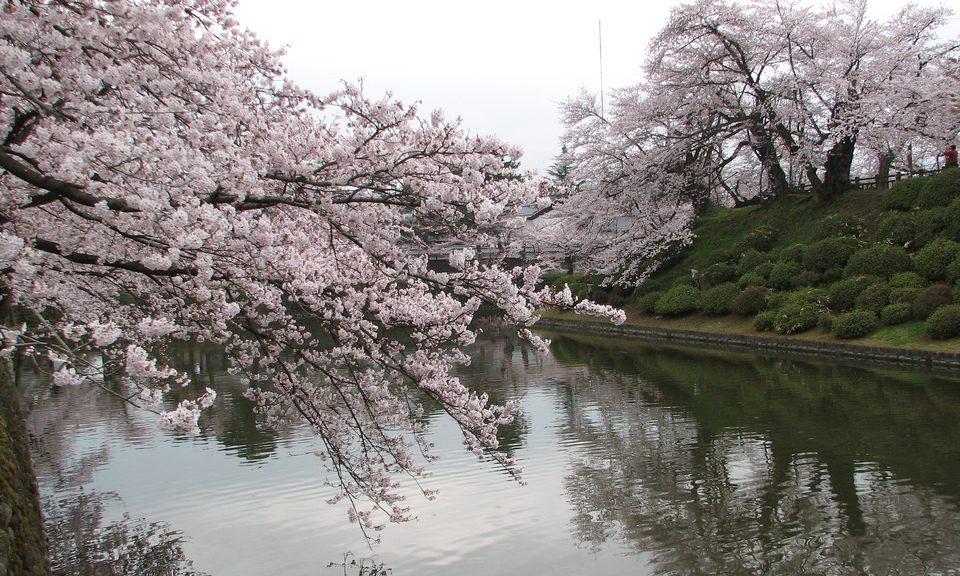 Sakura, Flor de cerejeira