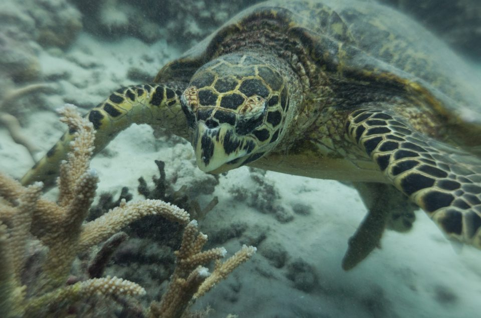 Mergulho com as tartarugas marinhas