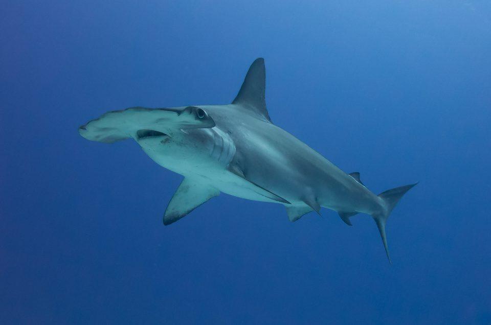 Tubarões martelo