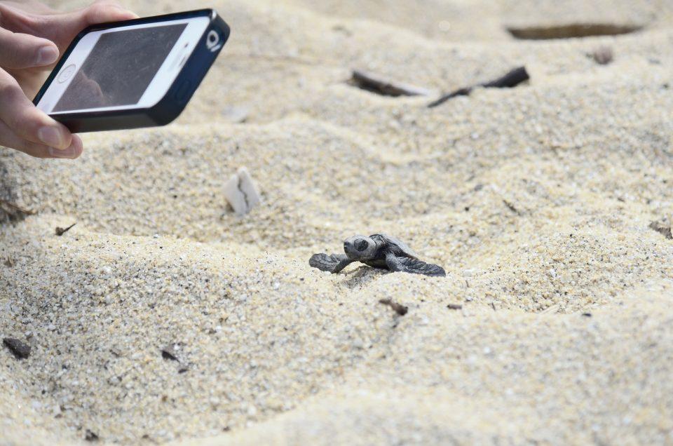 Tartarugas de cabeça grande
