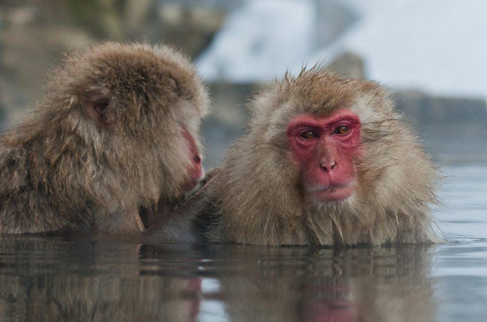 Macacos de neve