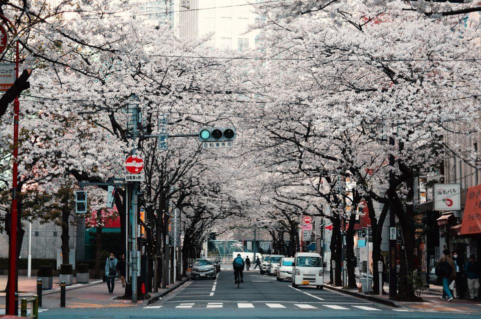 Temporada das flores de cerejeira 2019